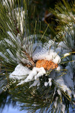 Pine tree and cone covered in snow.