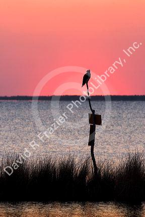 Osprey perched at sunset on Abelmarle Sound at Kitty Hawk, North Carolina.