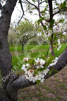 Apple blossoms in an orchard at Leland, Michigan.