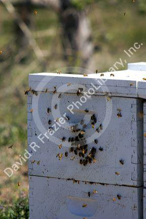 Beehive in an apiary near Parma, Idaho, USA.