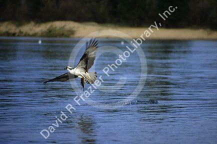 Osprey fishing for perch at lake cascade in idaho usa for Cascade lake idaho fishing