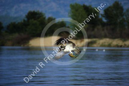 Osprey fishing for perch at Lake Cascade in Idaho, USA.