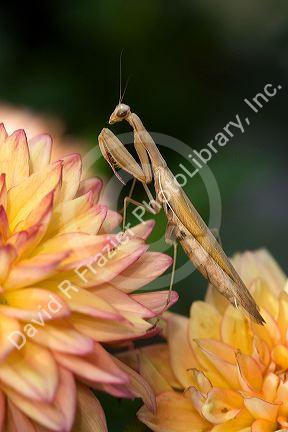 Tan colored praying mantis in Boise, Idaho, USA.