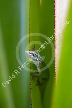 A Green Anole Is An Arboreal Lizard Located On The Island Of Kauai Hawaii Usa