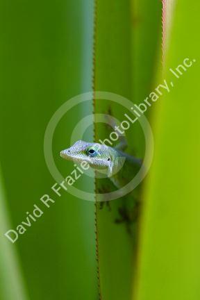 A Green Anole Is An Arboreal Lizard Located On The Island Of Kauai Hawaii Usa