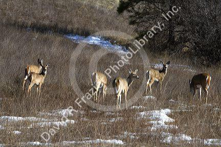 Mule deer grazing near Garden Valley, Idaho, USA.   David ...