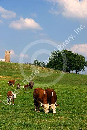 Hereford cattle graze in a green pasture at Mt. Pleasant, Iowa.