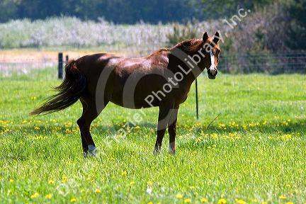 Horse grazes in a field at Michigan State University agriculture school.