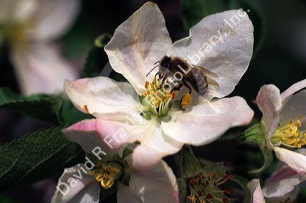 Honey bee on apple blossoms.