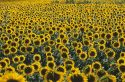 Sunflower field in Kansas.