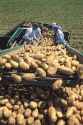 Migrant workers sort through potatoes at harvest time in Idaho.