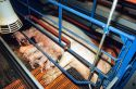 Piglets and their mother in a farrowing pen at a hog farm.
