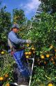 A worker picks oranges in Lake Alfred, Central Florida.