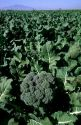 A crop of broccoli in Central California.