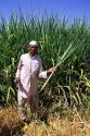Harvesting sugar cane in Southern India.
