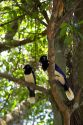 Plush crested jays in the jungle near Iguazu, Argentina.