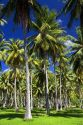 A grove of coconut palm trees on the island of Moorea.