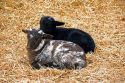 Baby lambs at George Washington's Mount Vernon, Virginia.