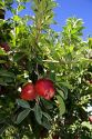 Red delicious apples hang from a tree branch in Canyon County, Idaho.
