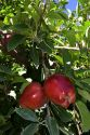 Ripe Red Delicious apples hang from a tree branch in Canyon County, Idaho.