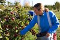 A woman picking apples in an orchard near Emmett, Idaho. MR