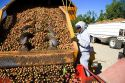 A worker views newly harvested walnuts being dumped from the transporter in Glenn, California.