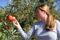 A woman picks an apple at an orchard in Canyon County, Idaho. MR