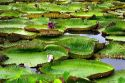 Vitoria Regis, giant water lilies in the Amazon jungle near Manaus, Brazil.