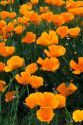 California poppies along Highway 55 in Idaho.