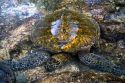 Hawaiian Green Sea Turtle in a tidal pool on the Big Island of Hawaii.