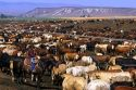 Cattle on a feedlot in Grandview, Idaho.