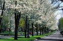 Pear trees in bloom line Harrison Blvd. in Boise, Idaho.