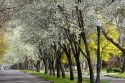 Harrison Boulevard lined with pear trees in bloom in Boise, Idaho.