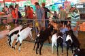 Goats on display at the Western Idaho Fair in Boise, Idaho.