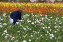 Workers harvest colorful ranunculus flowers growing at The Flower Fields of Carlsbad, Southern California, USA.