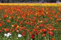 Colorful ranunculus flowers grow at The Flower Fields of Carlsbad, Southern California, USA.