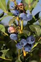 Blueberries grow on the plant near McMinnville, Oregon, USA.