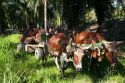 Oxen pull a cart of havested oil palm fruit on a plantation near Caldera, Costa Rica.