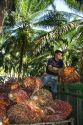 Newly havested oil palm fruit on a plantation near Caldera, Costa Rica.