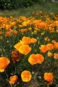 California poppies growing along the Payette River in Idaho, USA.