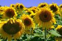 Sunflowers grow on farmland on the Pampas of Argentina.