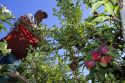 Migrant worker havesting apples in Canyon County, Idaho, USA.