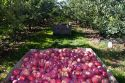 Newly harvested apples in Canyon County, Idaho, USA.