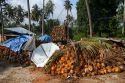 Newly harvested coconuts from coconut palm trees on the island of Ko Sumai, Thailand.